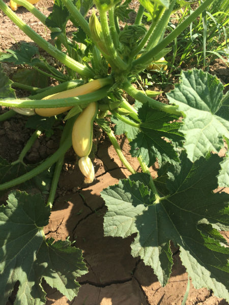 Frank's healthy summer squash nearly ready to be picked and brought to your Wyoming table.