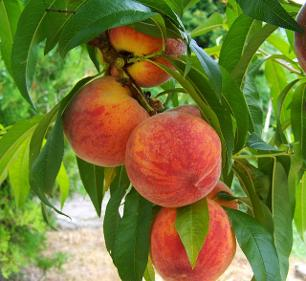 Organically grown peaches